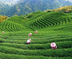 Tea planation